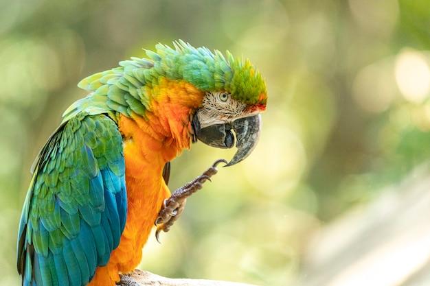 Este espécime foi resultado do cruzamento de uma arara-grande-verde com uma arara-vermelha