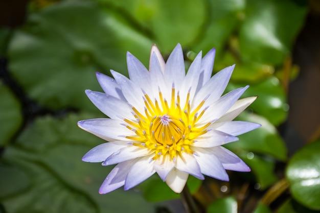 Este lindo waterlily