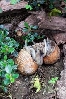 Esteiras de dois caracóis da borgonha (helix pomatia)