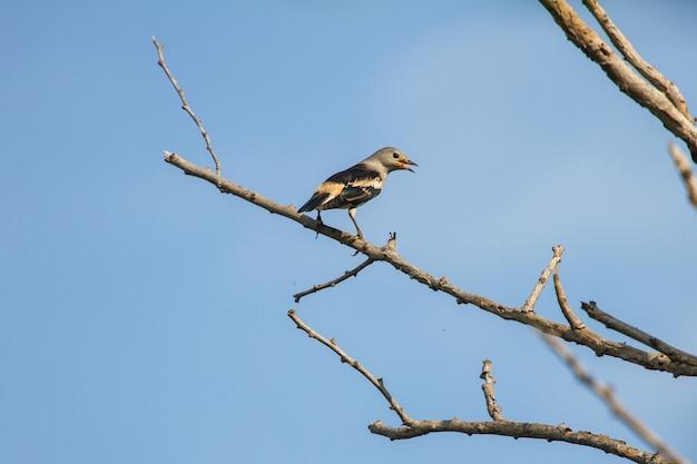 Estorninho-de-dorso-roxo, sentado em um galho na floresta
