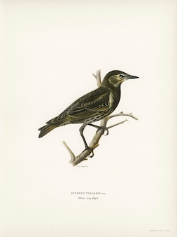 Estorninho (sturnus vulgaris) ilustrado pelos irmãos de von wright.