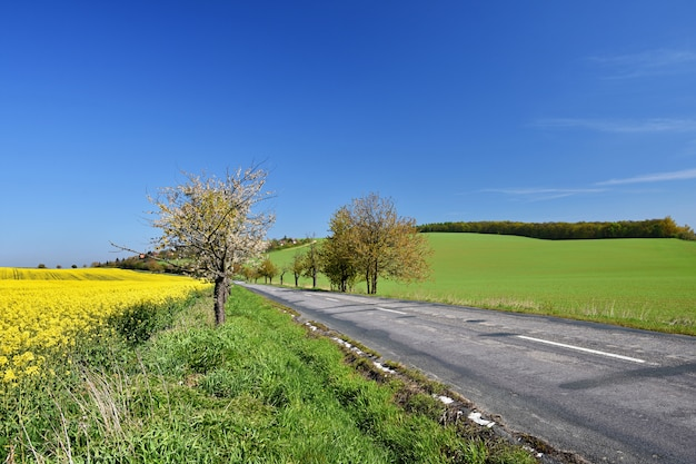 Estrada asfalto, perto, um, campo, com, bonito, rapeseed, flores, (brassica, napus), (brassica, napus)