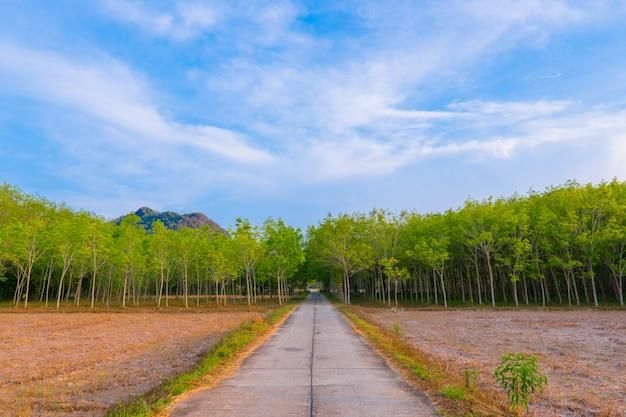 Estrada através do meio da plantação de borracha ou hevea brasiliensis.