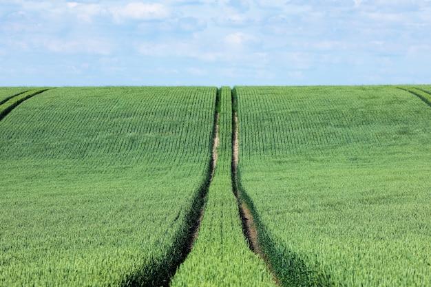 Estrada de máquinas agrícolas em um campo de trigo.