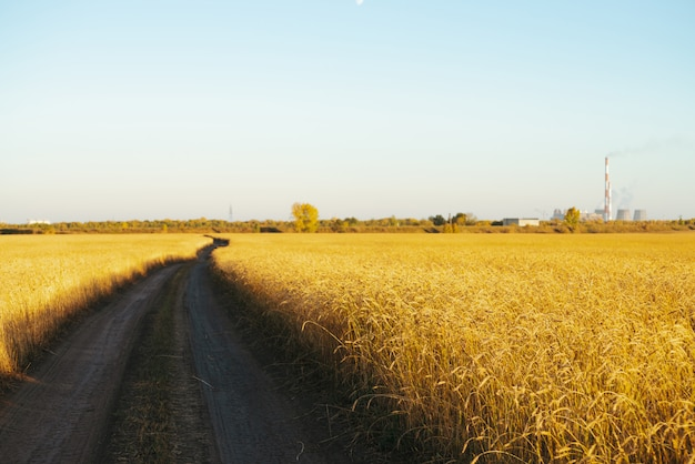 Estrada de terra através do campo de trigo dourado na luz solar sob o céu azul claro, com espaço de cópia