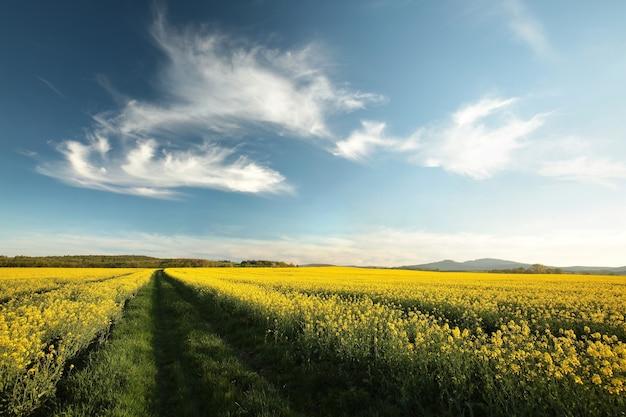 Estrada de terra em um campo de estupro ao anoitecer