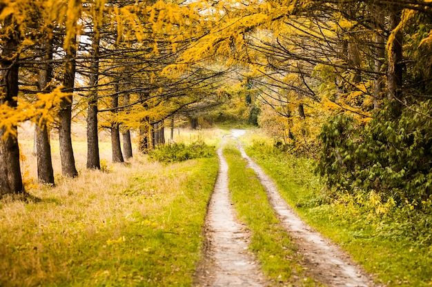 Estrada de terra pela floresta colorida de outono amarelo