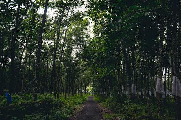 Estrada, embora plantação de árvores de borracha