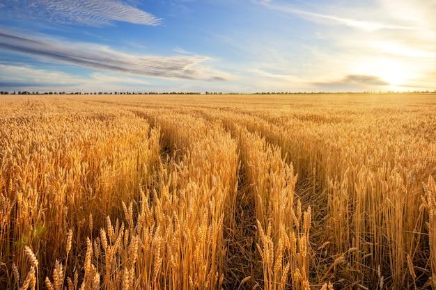Estrada entre espigas douradas de trigo no campo sob o céu azul