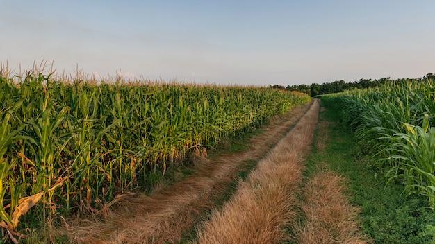 Estrada no meio de campos de milho. milharal na paisagem de verão com estrada.