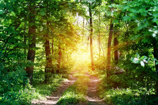 Estrada rural ao sol na floresta de verão