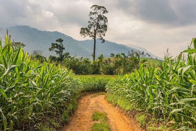 Estrada rural, campos de milho e céu azul escuro