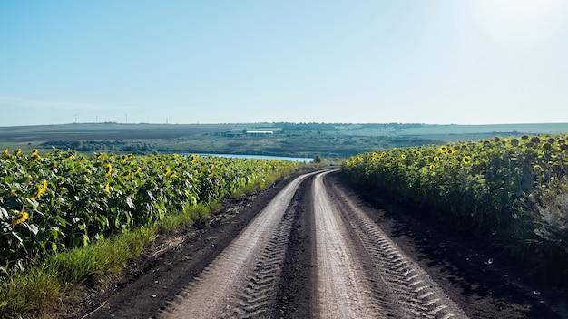 Estrada rural com campos de girassol