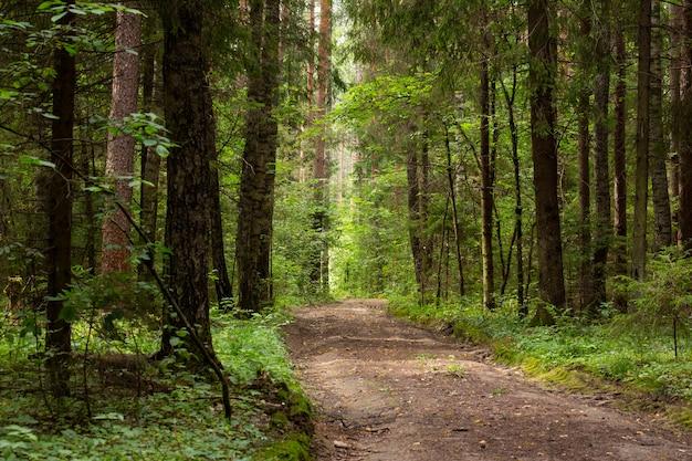 Estrada rural em uma floresta de pinheiros, agosto