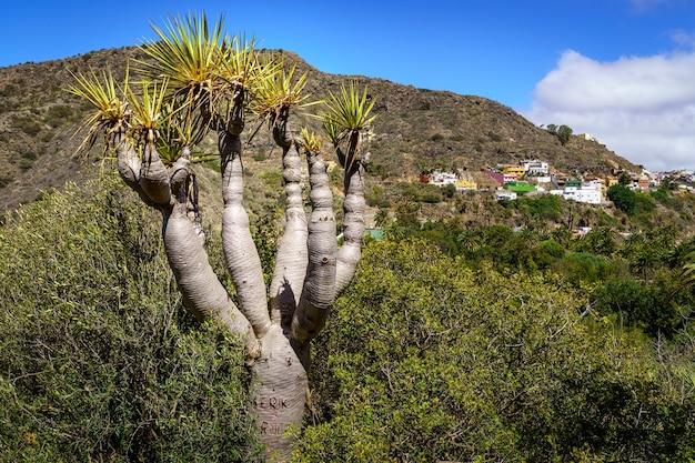 Estranha árvore chamada draco típica das ilhas canárias, ao lado de plantas verdes e montanhas ao fundo com casas na encosta. espanha.