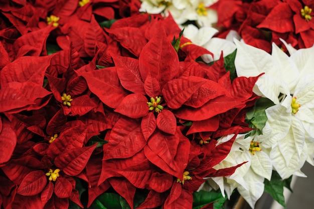 Estrela de natal de flores vermelhas e brancas para decoração