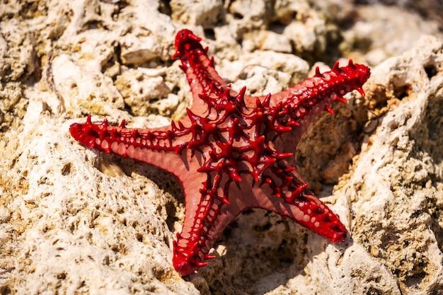 Estrela do mar deitada em uma pedra