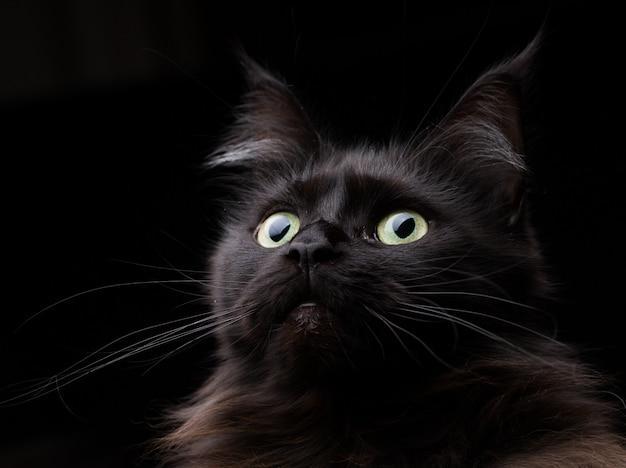 Estúdio, retrato, de, um, bonito, gato coon maine