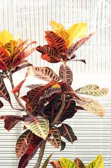 Estufa com planta de folhas vermelhas e laranja