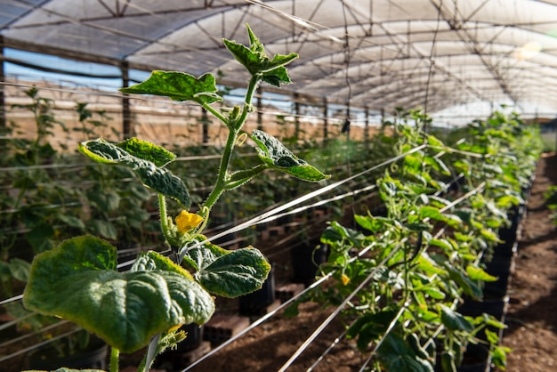 Estufa com planta que produz pepino