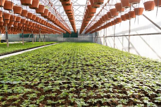 Estufa e empresa agrícola dentro de uma grande estufa com fileiras de plantas frescas e vasos de flores