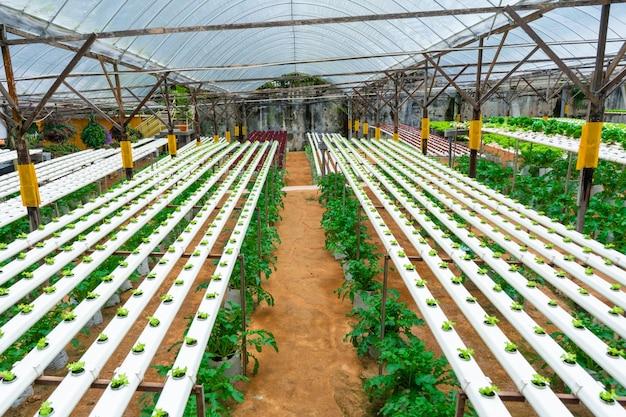 Estufa moderna para o cultivo de saladas com sistema de irrigação. escala industrial de plantas em crescimento.