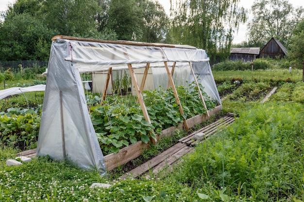 Estufa para pepinos no jardim