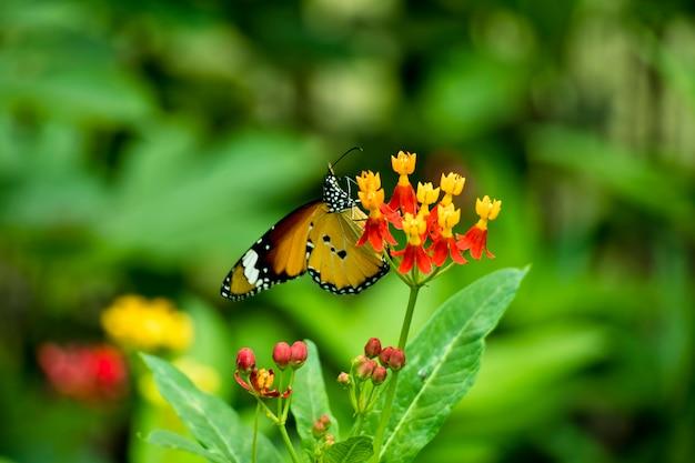 Eu estou andando no jardim de borboletas, borboleta em flor está comendo mel.