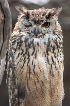 Eurasian eagle-owl piscando enquanto está sentado em seu poleiro em um zoológico