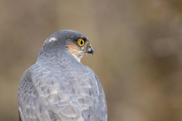 Eurasian sparrowhawk accipiter nisus winter sparrowhawk. fechar-se.