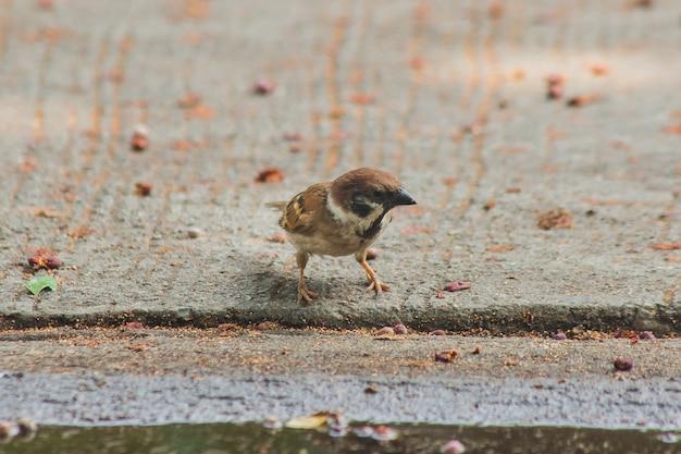 Eurasian tree sparrow está no chão