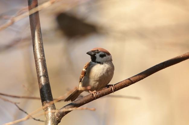 Eurasian tree sparrow - passer montanus em um galho