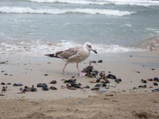 European arenque gaivota