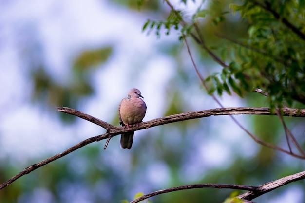 European turtledove streptopelia turtur turtur empoleirada no galho de uma árvore