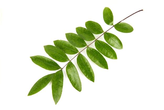 Eurycoma longifolia jack folhas verdes isoladas no fundo branco, vista superior, plana leiga.