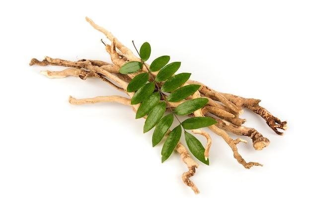 Eurycoma longifolia jack, raízes secas e folhas verdes isoladas no fundo branco, vista superior, postura plana.