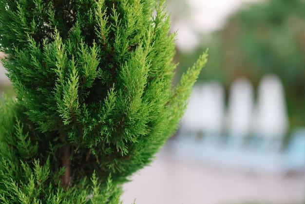 Evergreens para jardim luxuoso com plantas coníferas