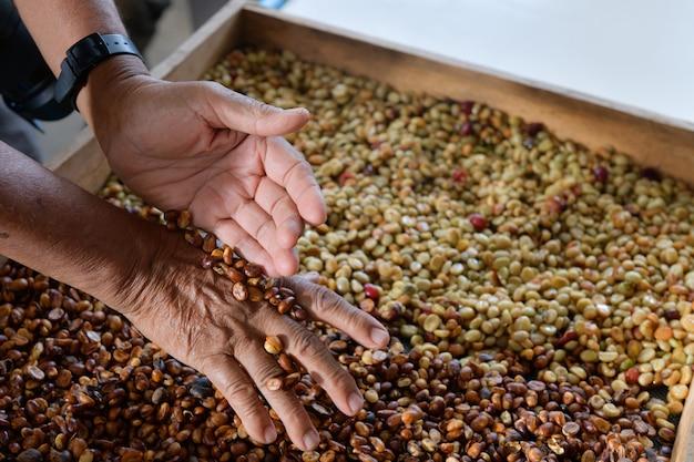 Exame da qualidade dos grãos de café curados e processados no processo de branqueamento.