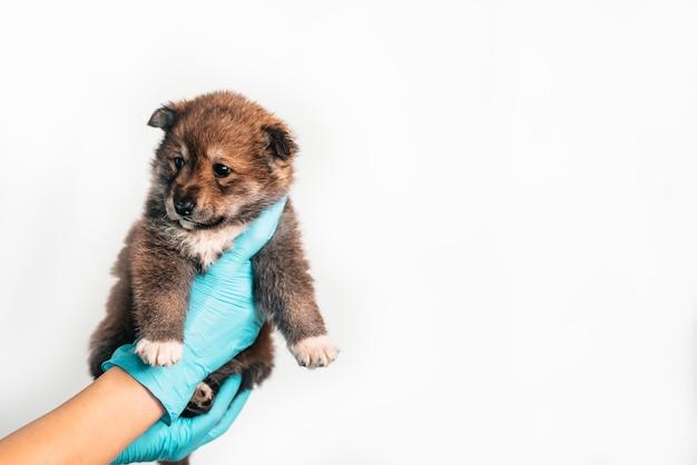 Exame de um filhote de cachorro vira-lata em um veterinário em uma clínica veterinária. inspeção de um animal de estimação, um cachorrinho engraçado nos braços de uma menina. copie o espaço