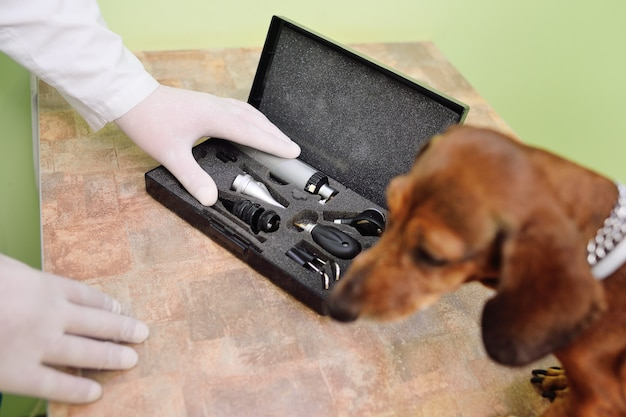 Exame médico de cães dachshunds em uma clínica veterinária