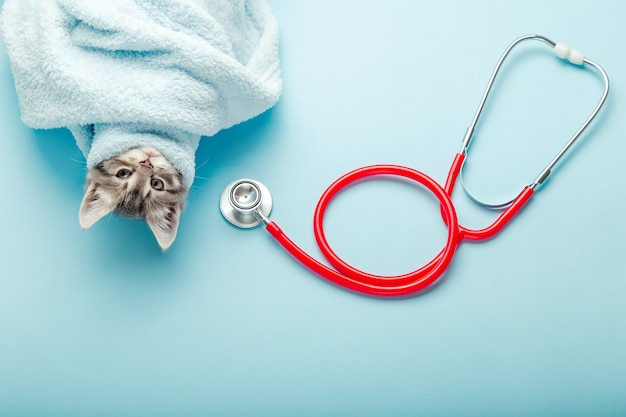 Examinando o veterinário do gatinho. gato cinza listrado e estetoscópio sobre fundo de cor azul. verificação do animal de estimação do gatinho, vacinação na clínica veterinária de animais. cuidados de saúde para animais domésticos.
