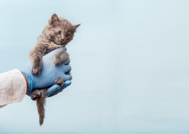 Examinando o veterinário do gatinho. gato cinzento no médico com as mãos na cor de fundo azul. animal de estimação gatinho, check-up, vacinação na clínica de animais veterinários. animal doméstico de cuidados de saúde. copie o espaço.