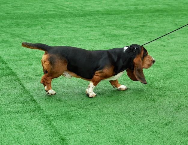 Executando, adulto, cachorro marrom, basset, cão caça