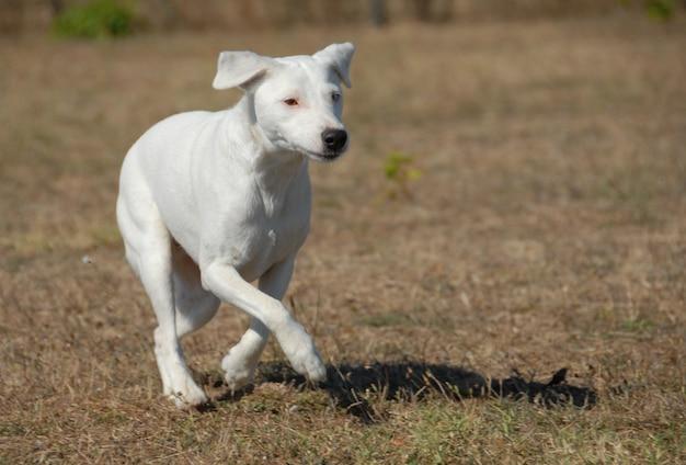Executando jack russel terrier