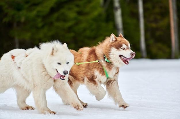 Executando o cão husky e samoyed em corridas de cães de trenó. competição de equipe de trenó de esporte de cachorro de inverno.