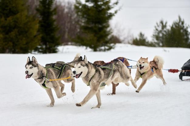 Executando o cão husky em corridas de cães de trenó. competição de trenós esportivos de cães de inverno