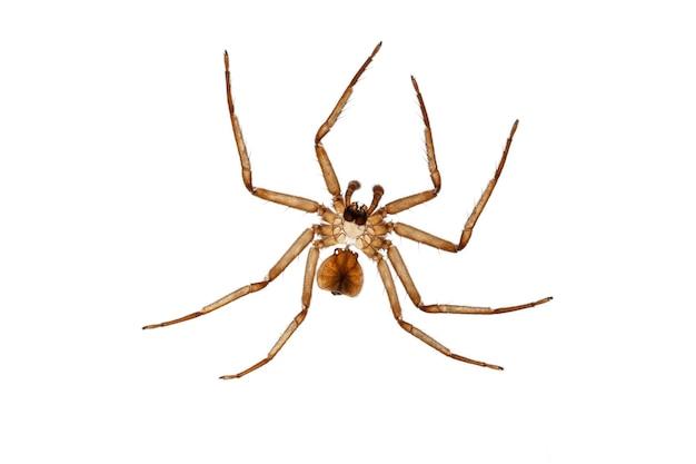 Exoesqueleto de aranha após muda em fundo branco - ecdise