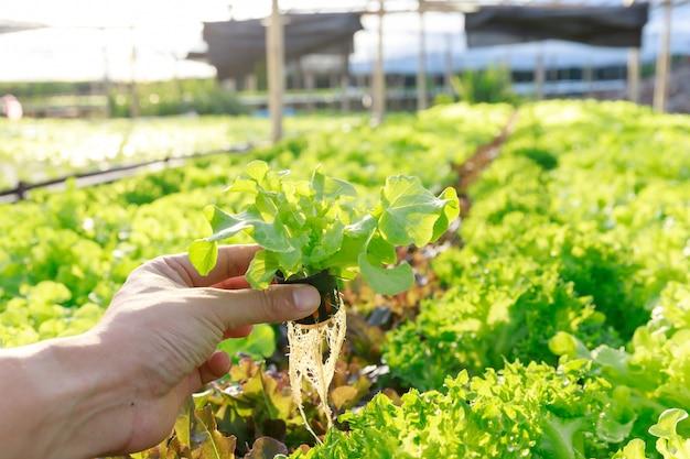 Exploração agrícola da hidroponia, trabalhador que guarda o vegetal hidropônico orgânico da alface no jardim da exploração agrícola da estufa.