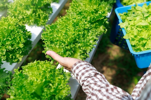Exploração agrícola da hidroponia, vegetal hidropônico orgânico da alface da colheita do trabalhador no jardim da exploração agrícola da estufa.