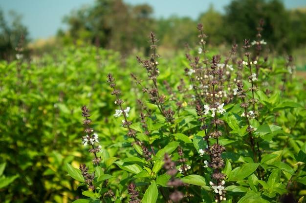 Exploração agrícola da manjericão das hortaliças com o crescimento de flor em ásia.